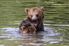 欧洲棕熊,熊属类arctos在公园 免版税库存图片