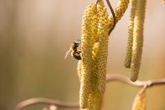 欧洲榛-收集在榛子灌木的蜂蜜蜂花蜜在春天 免版税库存照片