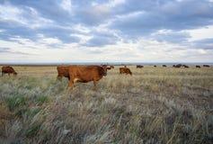 母牛在干草原吃草在日落光 库存照片