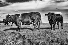 母牛在牧场地阿姆斯特丹Noord,Nederland 免版税库存图片