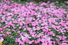 每年牵牛花,美丽的自然照片 图库摄影