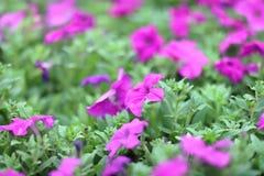 每年牵牛花,美丽的自然照片 库存照片