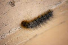 毛茸,棕色毛虫 背景概念框架沙子贝壳夏天 免版税库存图片
