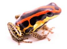 毒物箭或箭头青蛙,Ranitomeya uakarii金黄腿变体 免版税库存照片