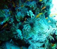 毒鱼蓑鱼,斑马鱼 鱼红海 库存照片