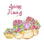 水彩春天季节性花例证 在篮子的五颜六色的郁金香 向量例证