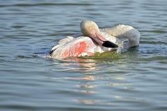 沐浴在水中的火鸟 免版税图库摄影