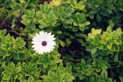 河雏菊延命菊美丽的白花宏观看法  库存图片