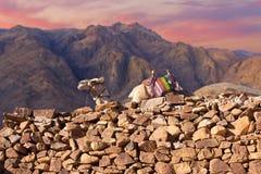 流浪者带领沿山道路的one-humped骆驼独峰驼 西奈的美好的早晨风景 免版税图库摄影