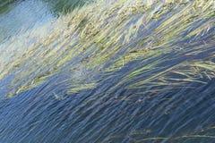 海杂草在水表面下在海洋 绿色海洋草在蓝色海 库存照片