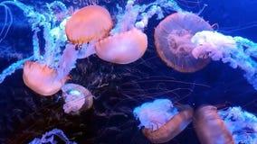 海荨麻-漂浮在水族馆的松包 股票录像