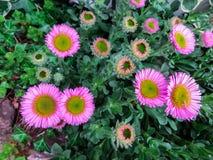 海边雏菊或海滩紫苑在Instow海滨村庄在海岸的在德文郡,英国 免版税图库摄影