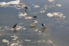 海鸥和乌鸦在冻河的冰 库存图片