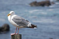 海鸥特写镜头和海洋 免版税库存图片