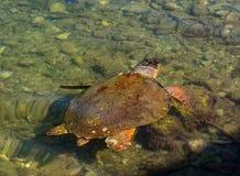 海龟在Kefalonia,希腊希腊海岛上的爱奥尼亚海  库存照片