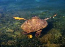 海龟在Kefalonia,希腊希腊海岛上的爱奥尼亚海  免版税库存照片