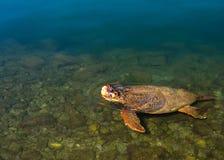 海龟在Kefalonia,希腊希腊海岛上的爱奥尼亚海  免版税库存图片