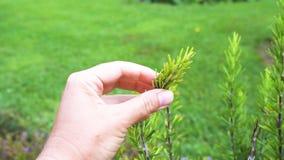 浇灌的迷迭香草本在庭院里 影视素材