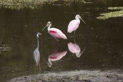 涉水鸟,与在奥兰多沼泽地的粉红琵鹭停放 免版税图库摄影
