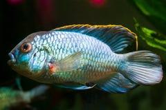淡水强有力的男性在产生的着色,侧视图的丽鱼科鱼Nannacara变态霓虹蓝色 库存照片