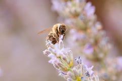淡紫色angustifolia,熏衣草属在阳光下在有蜂蜜蜂的药草园里 库存照片