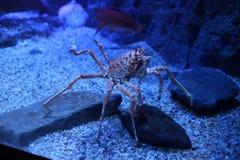 深海螃蟹 库存图片