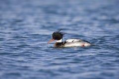 游泳和搜寻沿荷兰海岸的red-breasted秋沙鸭在北海 图库摄影