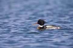 游泳和搜寻沿荷兰海岸的red-breasted秋沙鸭在北海 库存图片
