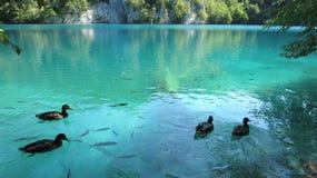 游泳的夫妇在Plitvice克罗地亚 免版税库存图片