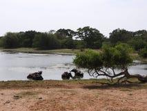 湖、鸟、自然和风景在雅拉国家公园,斯里兰卡 库存照片