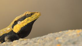 溜进来:半岛岩石蜥蜴 免版税库存照片
