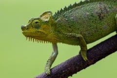 挡水板收缩的变色蜥蜴,肯尼亚,非洲 库存照片