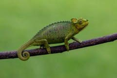 挡水板收缩的变色蜥蜴,肯尼亚,非洲 库存图片