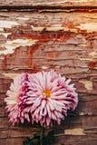 木表面上的桃红色菊花花 免版税库存照片