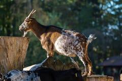 本国山羊,山羊属aegagrus hircus在公园 免版税库存图片
