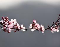 有后边山silhouetter的桃红色樱花  库存照片