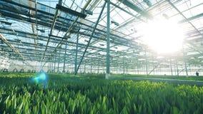 有增长的郁金香的现代温室自它 花卉生长自温室 影视素材