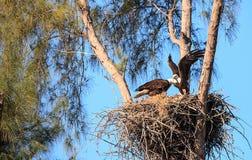 有小鸡他们的巢的飞行的白头鹰Haliaeetus leucocephalus父母在马可岛的 免版税图库摄影
