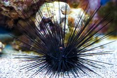 有巨大的钉的海胆 黑海野孩子 免版税库存照片