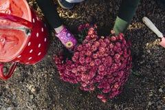 有桃红色手套的女孩种植菊花的 库存照片