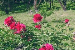 有桃红色牡丹花的花圃反弹庭院 免版税库存照片