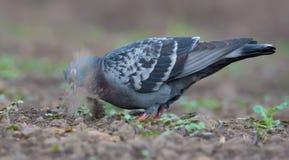 有效地搜寻在光秃的土地的食物的鸽子有很多尘土和沙子的 库存图片