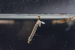按蚊sp 在教育的水中 库存图片