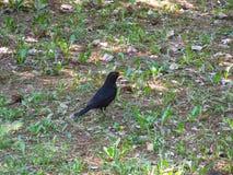 有黄色额嘴的黑人椋鸟科坐草在公园在一个春日 库存图片