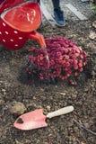 有金属桶浇灌的菊花的女孩 库存照片