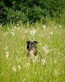 掩藏在一个绿色茂盛的牧场的愉快的pitbull 免版税库存图片