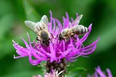 授粉同一朵桃红色紫罗兰色花的两只蜜蜂 免版税图库摄影
