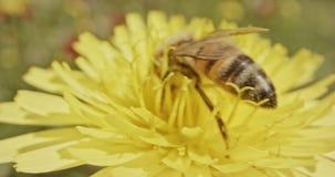 授粉-专辑宏观射击在用花花粉盖的花的一只蜂 影视素材