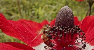 授粉-专辑宏观射击在用花花粉盖的花的一只蜂 股票录像