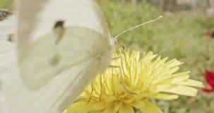 授粉-专辑宏观射击在花饮用的花蜜的一只蝴蝶 股票视频